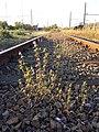Galeopsis angustifolia sl10.jpg