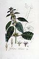 Galeopsis tetrahit — Flora Batava — Volume v5.jpg