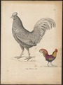 Gallus aeneus - 1700-1880 - Print - Iconographia Zoologica - Special Collections University of Amsterdam - UBA01 IZ17000007.tif