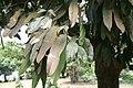 Garcinia xanthochymus 04.jpg