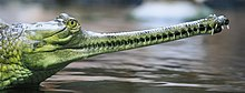 Photograph of an Indian Gharial shown with its expanded jaws closed and its teeth interlocking, similar to the snout of a spinosaurid