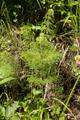 Gemuenden Ehringshausen Feldatal Equisetum sylvaticum.png