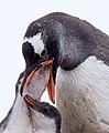 Gentoo Penguin (24822415832).jpg