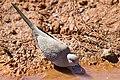 Geopelia cuneata -Pilbara, Western Australia, Australia -drinking-8.jpg