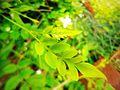 Georgious leafs.jpg