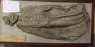 Geosaurus - Skull of G. giganteus
