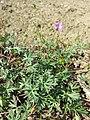 Geranium columbinum sl1.jpg