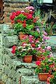 Geraniums in Nesebar.jpg
