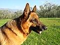 German shepherd enjoying the sun.jpg