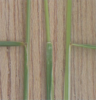 Festuca rubra - Image: Gewoon roodzwenkgras tongetje (Festuca rubra var. commutata ligula)