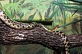 Gfp-mexican-lined-pine-snakes.jpg