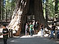 Giant sequoia california tunnel 2.jpg