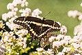 Giant swallowtail on california buckwheat.jpg