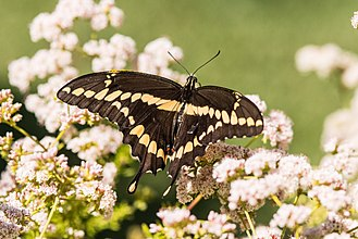 Papilio cresphontes - Giant swallowtail on California buckwheat (Eriogonum fasciculatum)