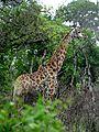 Girafe-Hluhluwe Umfolosi Game Reserve.JPG