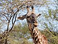 Giraffa camelopardalis - close-up.JPG