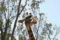 Giraffa camelopardalis tippelskirchi 2010-04-24 closeup.JPG