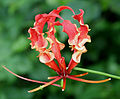 Gloriosa superba (Glory Lily) in Hyderabad, AP W IMG 0224.jpg