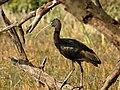 Glossy Ibis Plegadis falcinellus by Dr. Raju Kasambe DSCN1211 (1).jpg