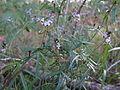 Glycine clandestina plant5 (10753896493).jpg
