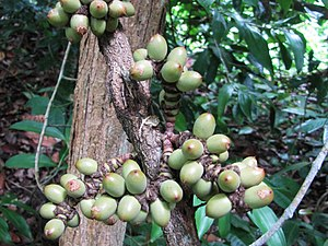 Gnetum - Gnetum macrostachyum in Thailand