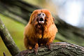 Golden lion tamarina vocalization.jpg
