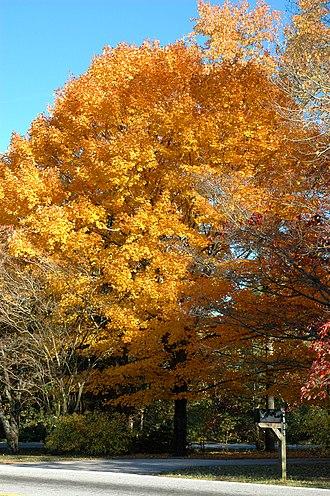 Maple sugar - Golden sugar maple tree