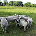 Good Easter, Essex, England - sheep on road to ford over River Can west of Good Easter village 05.JPG