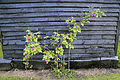 Good Easter, Essex, England - village Souther Cross Road roses against barn 02.JPG