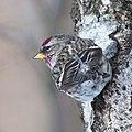 Gråsiska-9888 - Flickr - Ragnhild & Neil Crawford.jpg