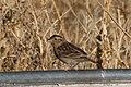 Grasshopper Sparrow (fall plumage) Curly Horse Ranch Rd Sonoita AZ 2017-12-16 09-28-27 (38237051485).jpg