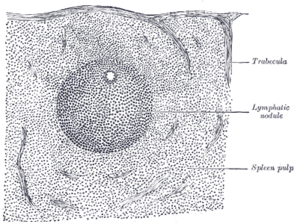 Red pulp - Transverse section of a portion of the spleen. (Spleen pulp labeled at lower right.)