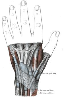 Schéma foveola radialis.