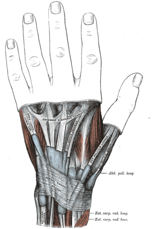Anatomical snuffbox - The mucous sheaths of the tendons on the back of the wrist. (Anatomical snuffbox not labeled, but visible at right.)