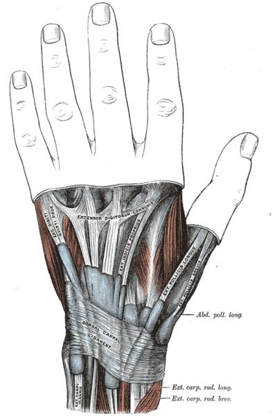 Músculo abductor largo del pulgar - Wikiwand