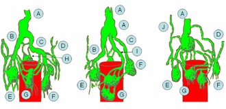 Cisterna chyli - Modes of origin of thoracic duct. a. Thoracic duct. a'. Cisterna chyli. b, c' Efferent trunks from lateral aortic glands. d. An efferent vessel which pierces the left crus of the diaphragm. e. f. Lateral aortic glands. h. Retroaortic glands. i. Intestinal trunk. j. Descending branch from intercostal lymphatics.