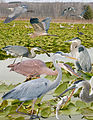 Great Blue Heron From The Crossley ID Guide Eastern Birds.jpg