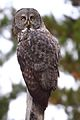 Great Gray Owl (Strix nebulosa) (6182422171).jpg