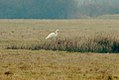 Great egret Egretta alba.jpg