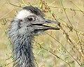 Greater Rhea (Rhea americana) (48430039812).jpg
