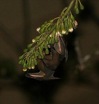 Greater short-nosed fruit bat - Image: Greater short nosed fruit bat (Cynopterus sphinx) feeding on Kapok (Ceiba pentandra) at night in Kolkata W IMG 3881