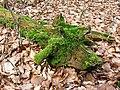 Green Dragon^ No just a moss-covered fallen branch - geograph.org.uk - 1192429.jpg