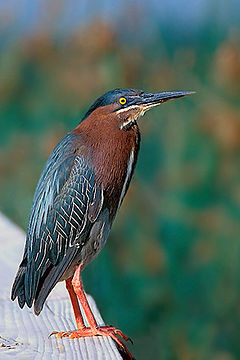 Green Heron at Dunes Golf Course, Sanibel.jpg
