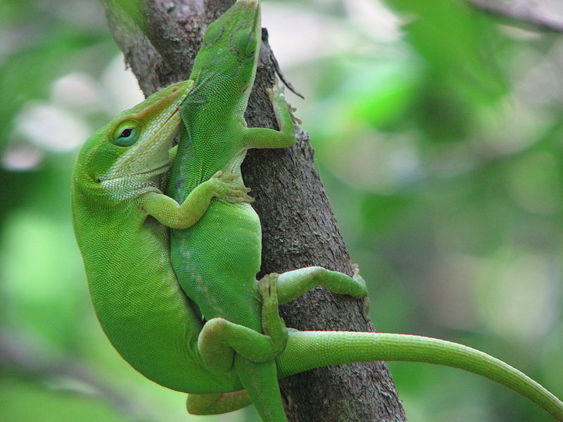 File:Green anoles mating.jpg
