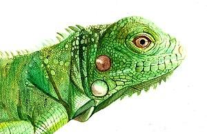 Green lguana.jpg