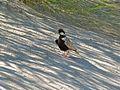 Grey-backed Sparrowlark (Eremopterix verticalis) (6875326526).jpg