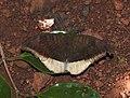 Grey Count Tanaecia lepidea by Dr. Raju Kasambe DSCN4933 (5).jpg