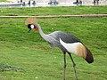 Grey Crowned Crane - ഗ്രെ ക്രൗൺഡ് ക്രെയിൻ 03.jpg