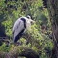 Grey heron (26964735415).jpg