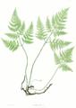 Gymnocarpium robertianum Moore6.png